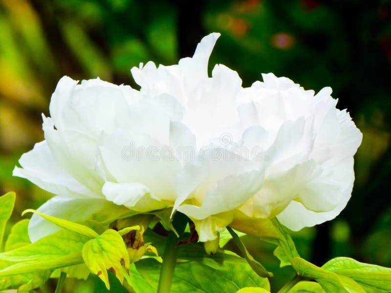 Floraison blanche de fleur de pivoine photos stock