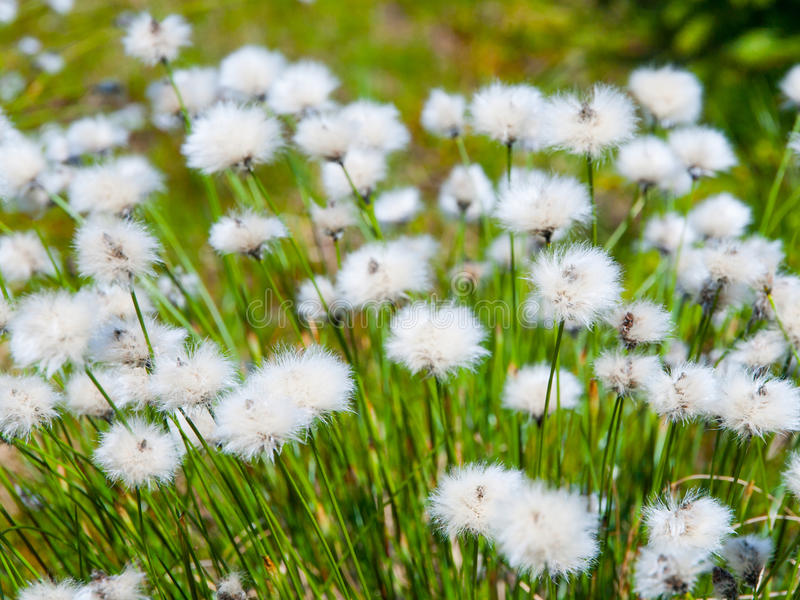 Floraison blanche des cottongrass de touffe, vaginatum d'Eriophorum, usine fleurissante herbacée éternelle photo libre de droits