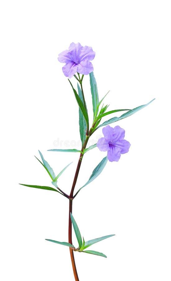 Floraison color?e de tuberosa de waterkanon ou de ruellia d'isolement sur le fond blanc avec le chemin de coupure, deux fleurs po image libre de droits