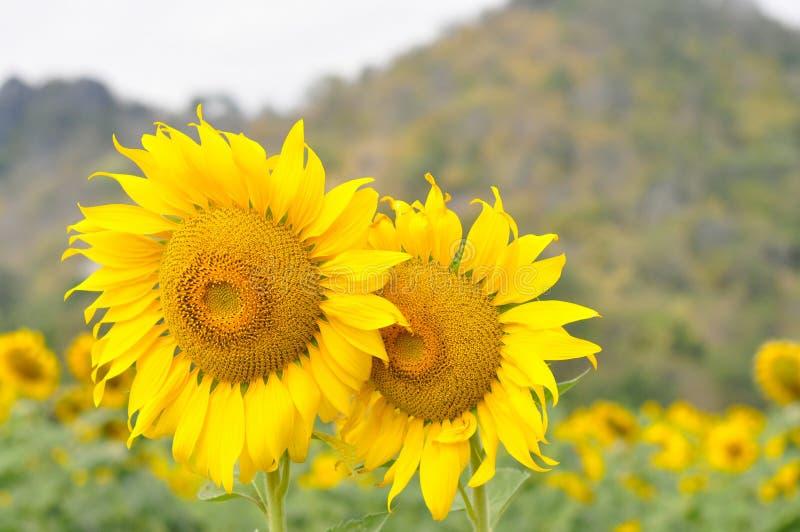 Floraison d'été de tournesol d'or photos libres de droits