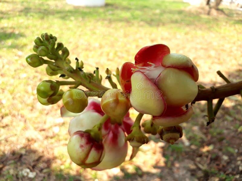 Floraison d'arbre de boule de canon image stock