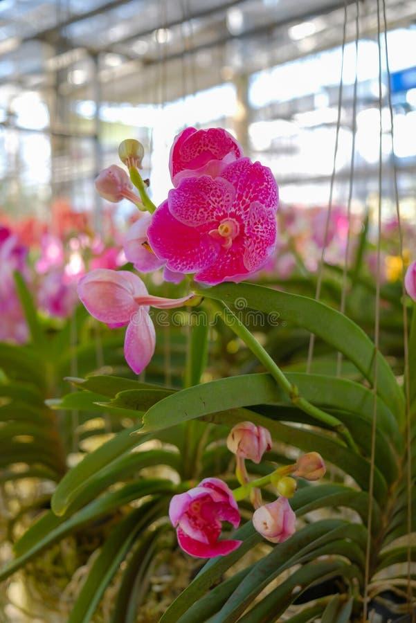 Floraison d'orchid?e de Phalaenopsis photo stock