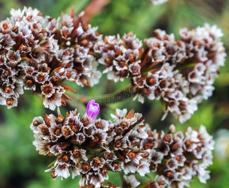 Floraison d'une fleur de montagne Comparaison du vivant et des morts photographie stock