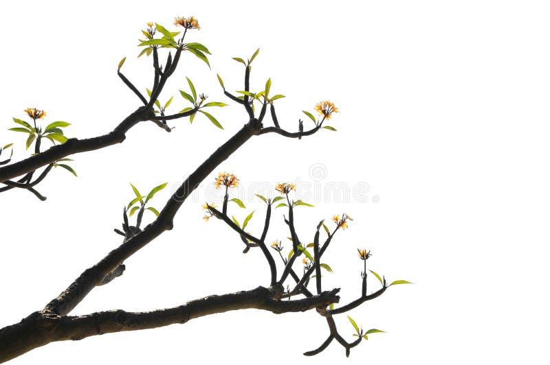floraison de branchements images libres de droits
