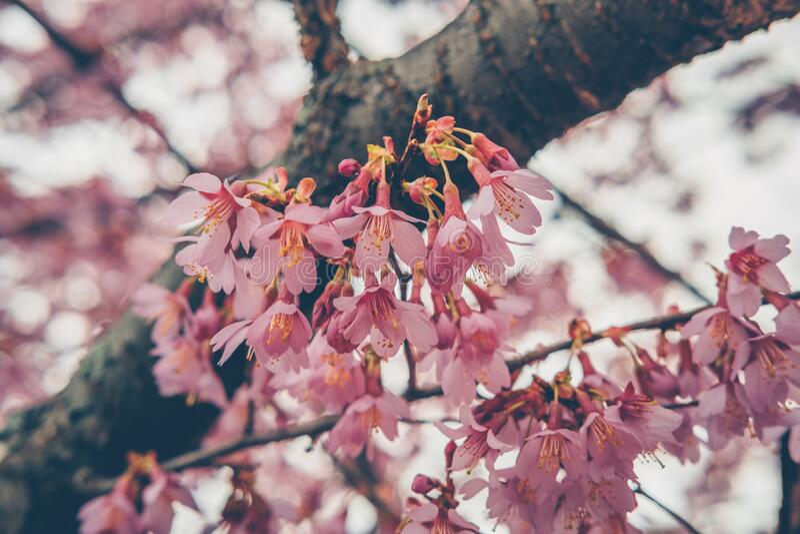 Floraison de cerise. Ressort et concept tranquille de nature  images libres de droits