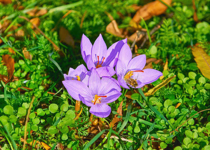 Floraison de crocus de safran photo libre de droits