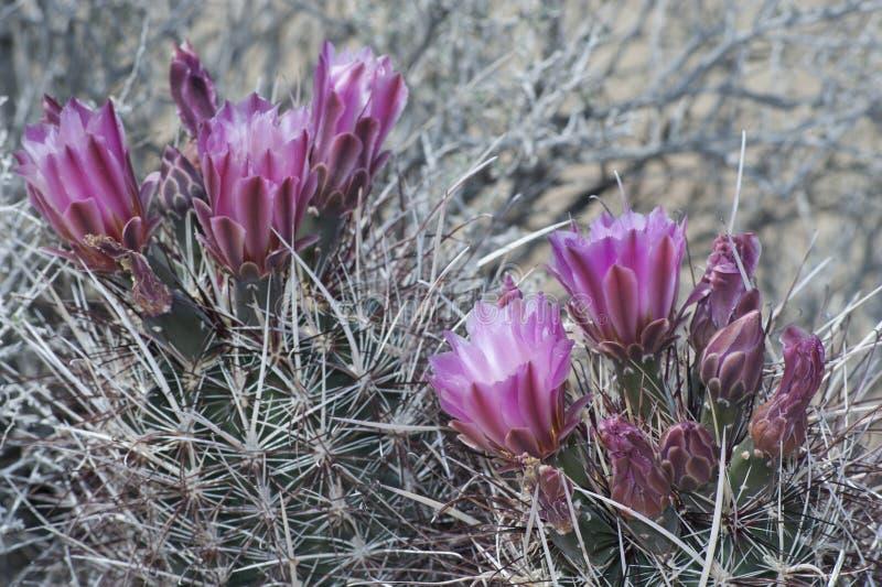 Floraison de fleur de cactus image libre de droits