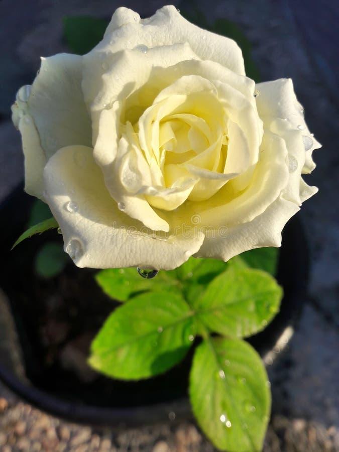 Floraison de fleur de rose de blanc photos stock