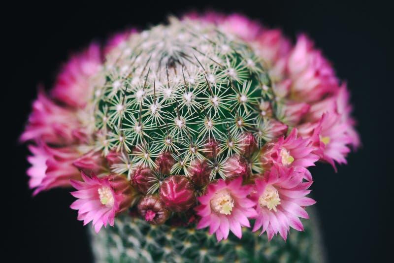 Floraison de fleurs de cactus photos libres de droits