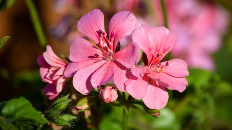 Floraison de fleurs de cosmos colorée par ofpink de vue de plan rapproché photos libres de droits
