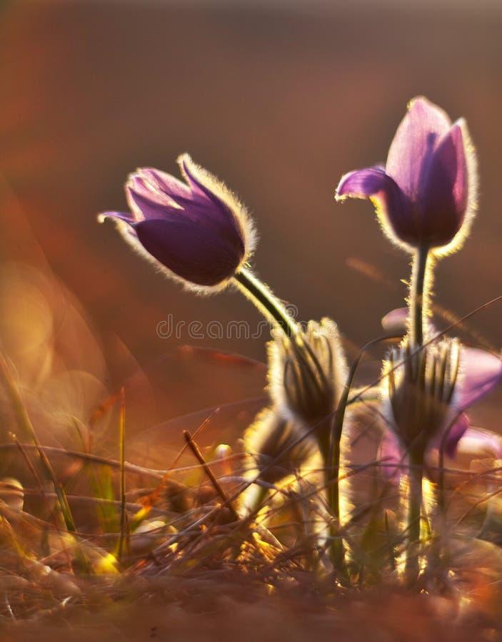 Floraison de fleurs de Pasque photo libre de droits