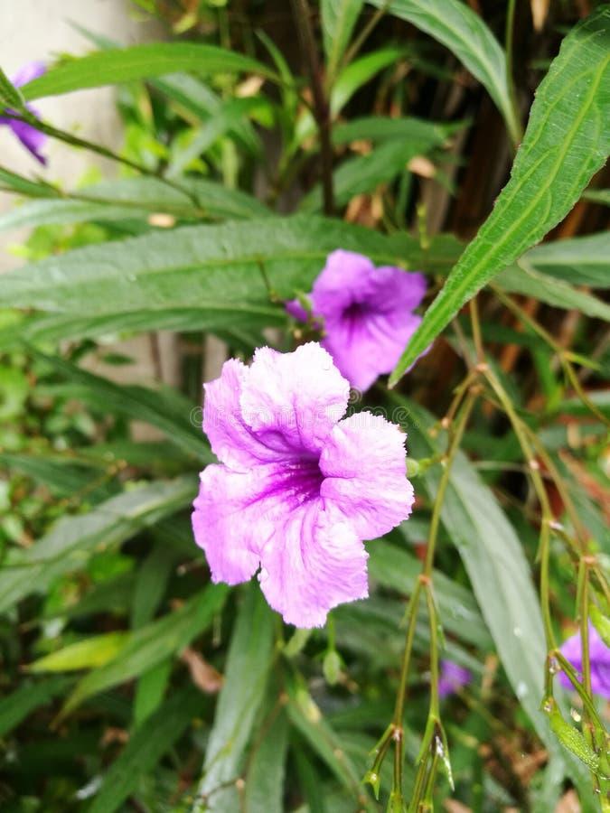 Floraison de fleurs de Waterkanon photo stock