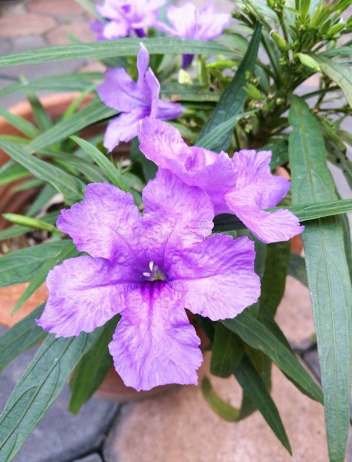 Floraison de fleurs de Waterkanon images stock