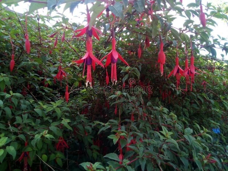 Floraison de Fushia photos stock