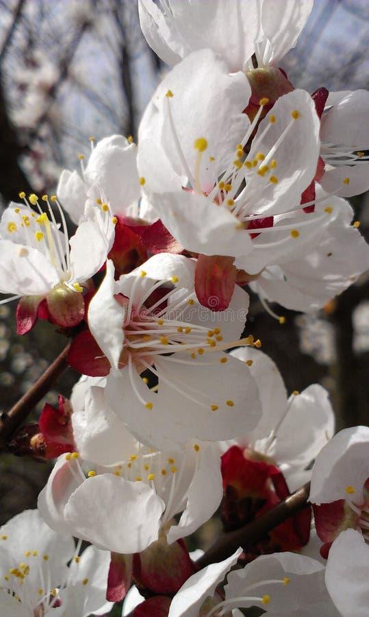 Floraison de l'arbre photos libres de droits