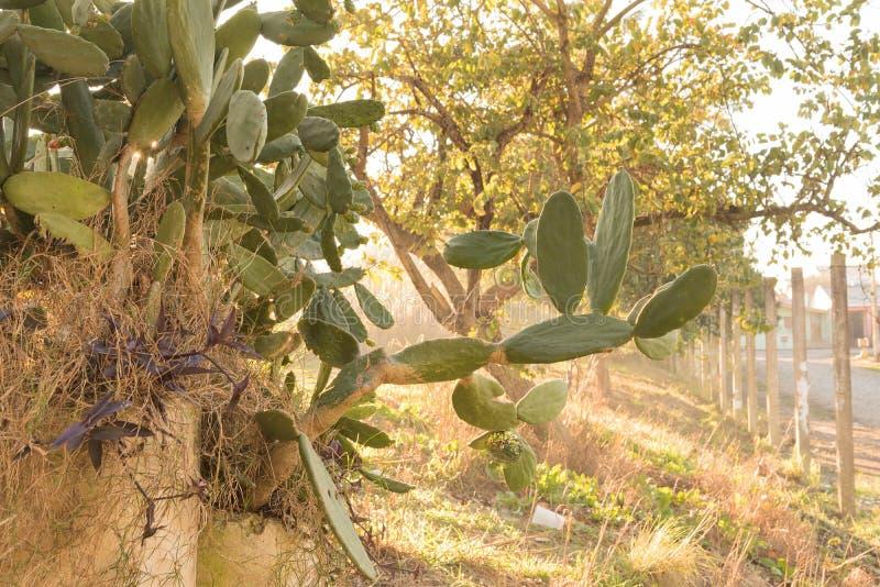 Floraison de l'opuntia de cactus dans le matin 06 d'hiver image libre de droits