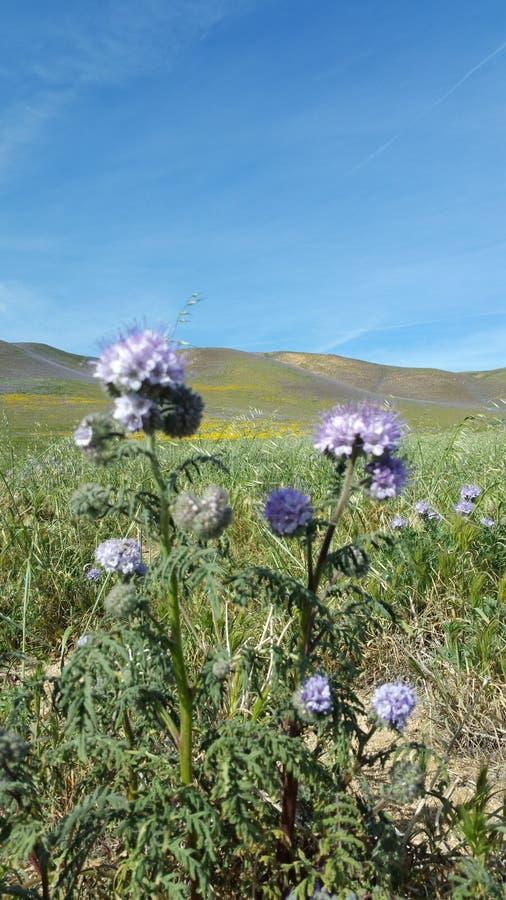 Floraison de montagne images stock