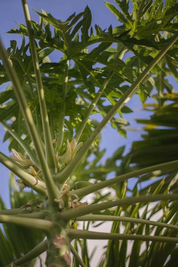Floraison de papayer photos stock