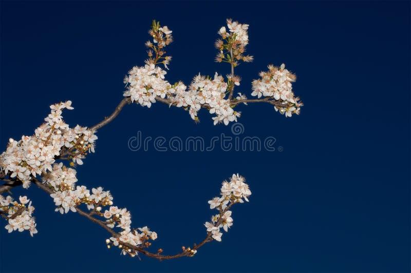 Floraison de pommier photos libres de droits