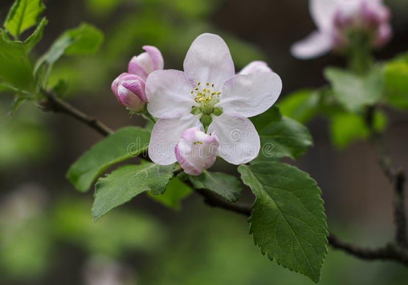 Floraison de ressort des fleurs d'arbres fruitiers macro photographie stock libre de droits