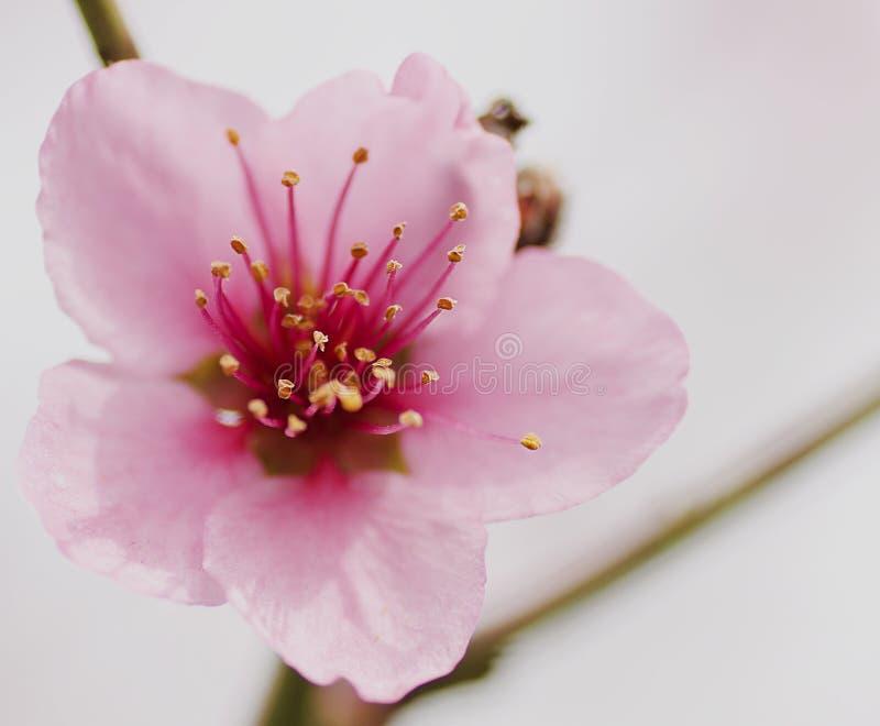 Floraison de ressort des fleurs d'arbres fruitiers macro photos stock
