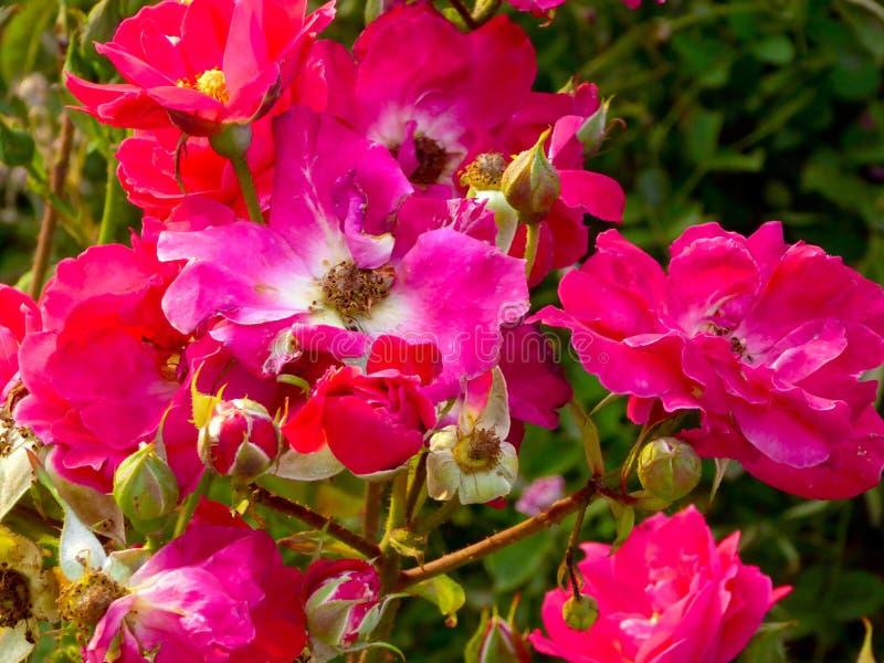 Floraison de roses roses et blanches image libre de droits