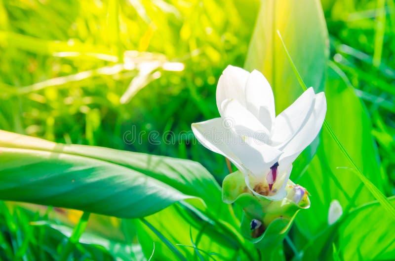 Floraison de Siam-tulipe ou krachiao de dok dans le domaine au lever de soleil de matin, photos stock