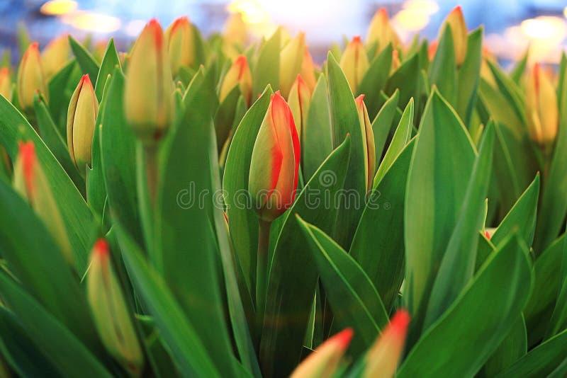 Floraison de tulipes de texture image stock