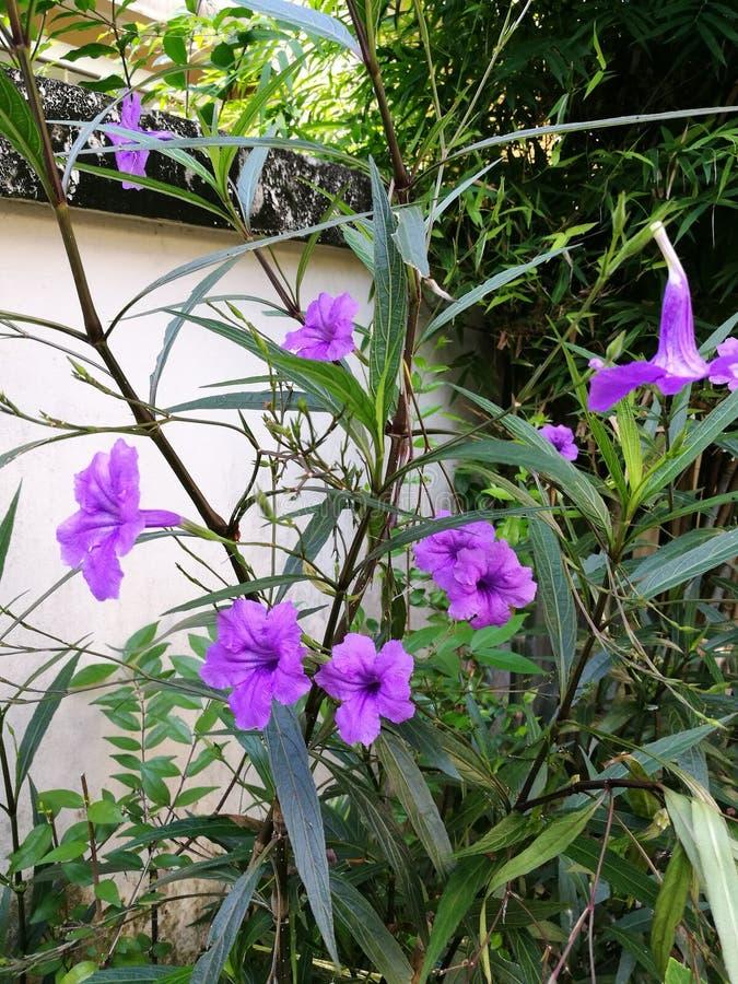 Floraison de Waterkanon photos stock