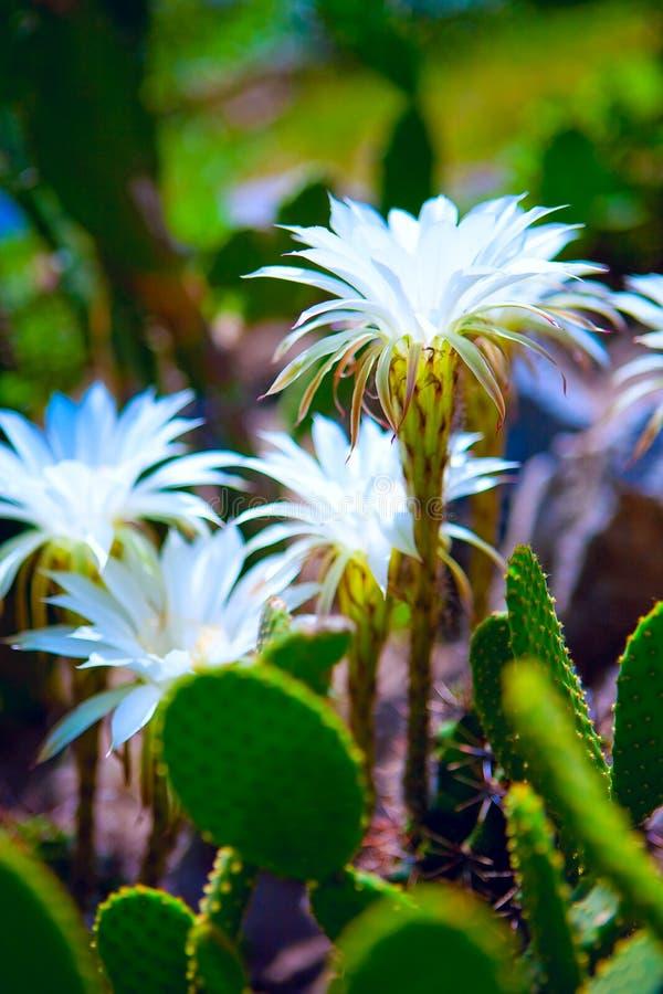 Floraison des cactus photos libres de droits