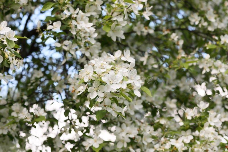 Floraison des champs de pommiers photos libres de droits