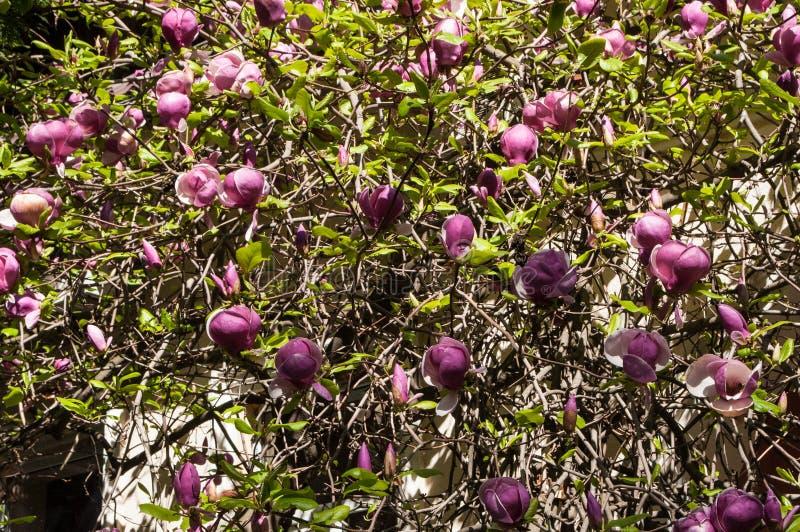 Floraison des fleurs de magnolia images libres de droits