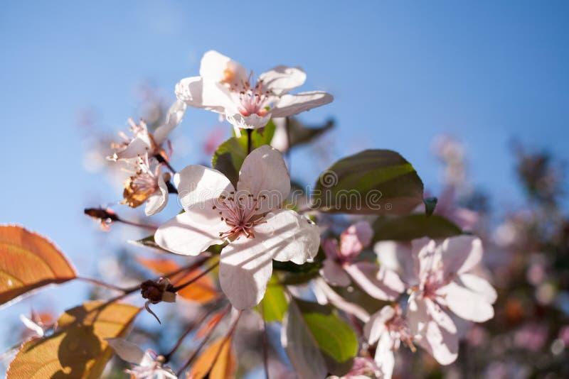 Floraison ensoleillée en gros plan pâle - Sakura rose fleurit sur le ciel bleu photos stock