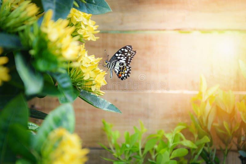 Floraison jaune d'Ixora de fleur de papillon à l'arrière-plan en bois de jardin dans le jour lumineux ensoleillé d'été photographie stock