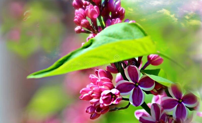 Floraison lilas image stock