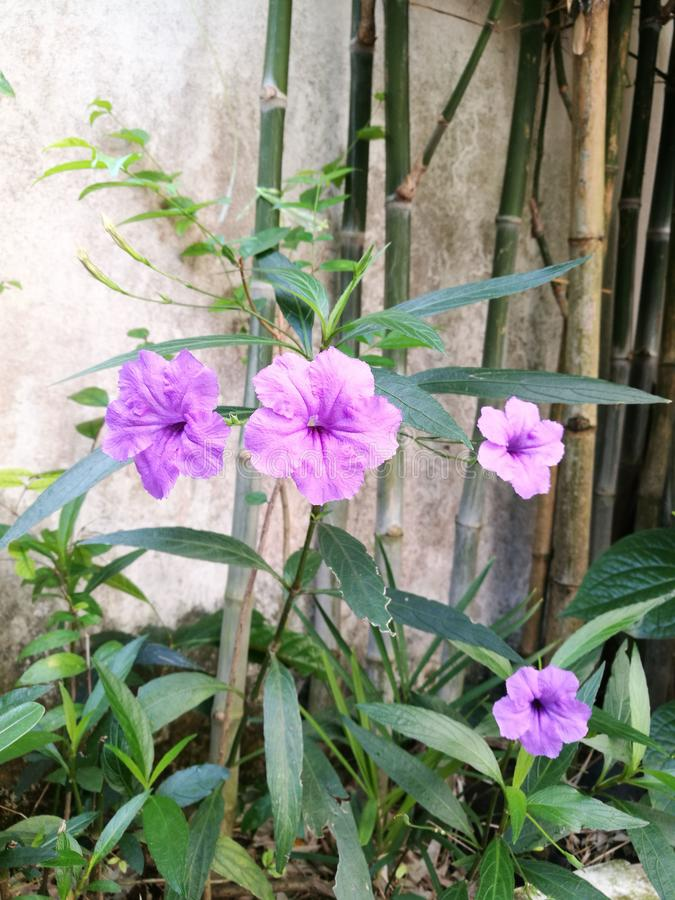 Floraison pourpre de waterkanon photos stock