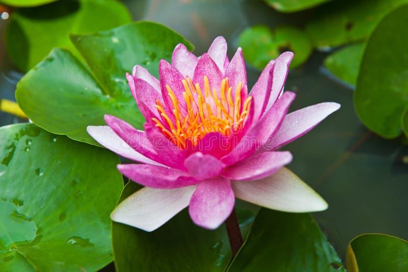 Floraison rose de lotus image libre de droits