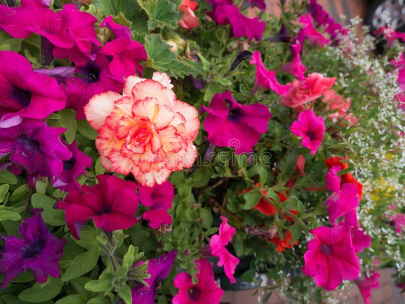 Floraison rouge blanche de fleur entourée par des fleurs de pétunia image libre de droits