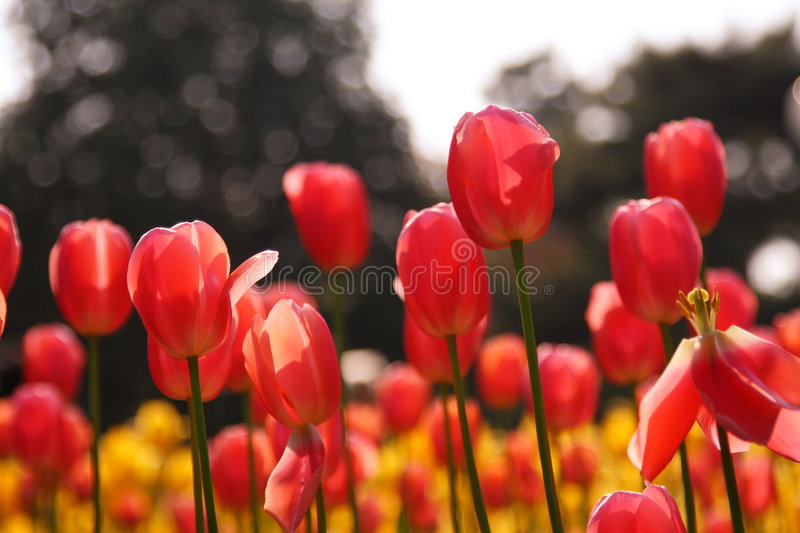 Floraison rouge de tulipes photographie stock