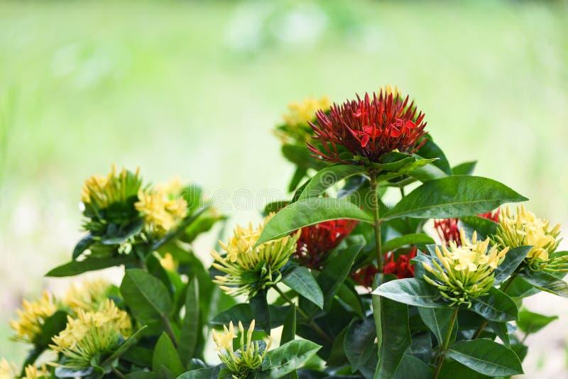 Floraison rouge et jaune de fleur d'Ixora au bel arrière-plan de vert de nature de jardin - coccinea chinensis d'Ixora photographie stock libre de droits
