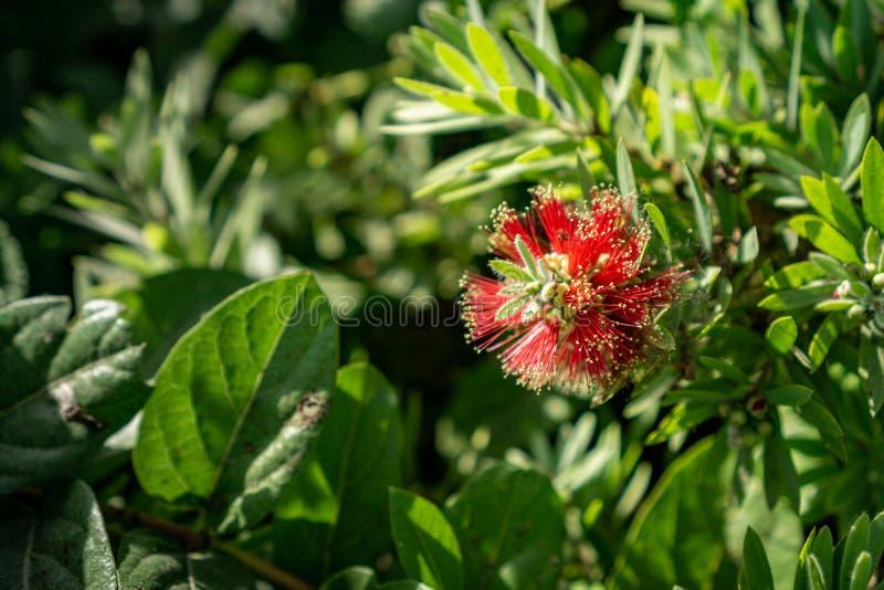 Floraison rouge pleurante de fleurs de bottlebrush photographie stock