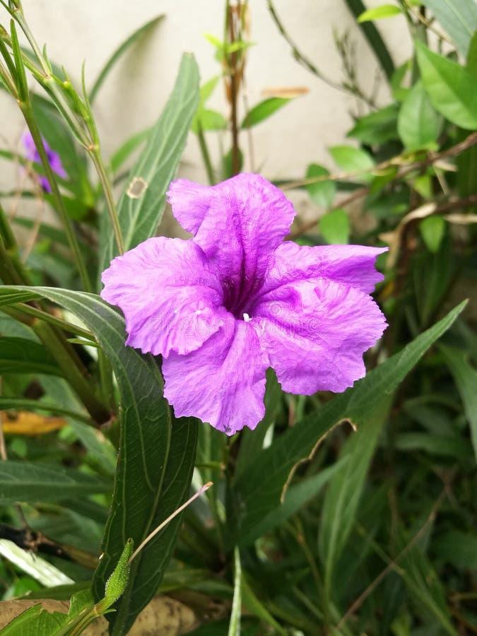 Floraison simple de waterkanon photographie stock libre de droits