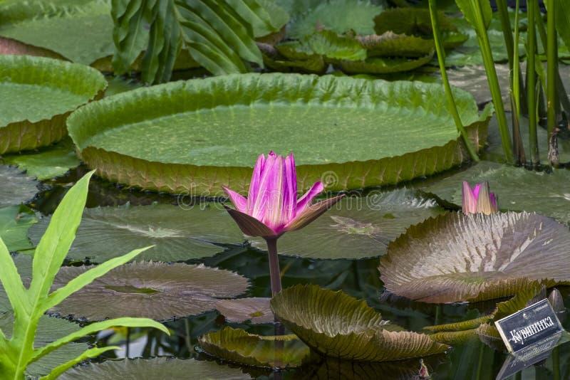 Floraison tropicale waterlily photographie stock libre de droits