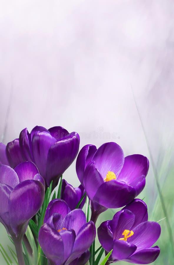 Floral πρότυπο ανοίξεων φύσης με τα πορφυρά λουλούδια κρόκων στοκ φωτογραφία