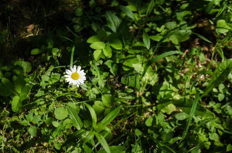 Floral έννοια άσπρου chamomile κινηματογραφήσεων σε πρώτο πλάνο σε μια πράσινη χλόη στον κήπο Άποψη στο ανθίζοντας λουλούδι στο κ στοκ εικόνα