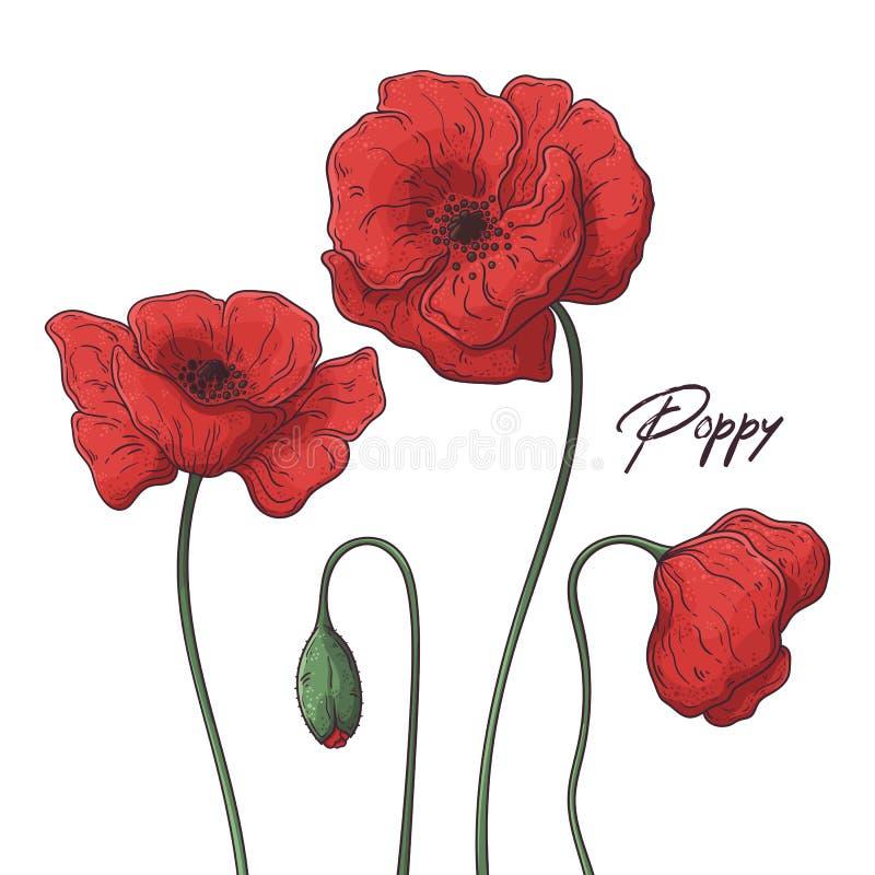 Floral απεικονίσεις βοτανικής Διανυσματικά λουλούδια παπαρουνών σκίτσων ελεύθερη απεικόνιση δικαιώματος