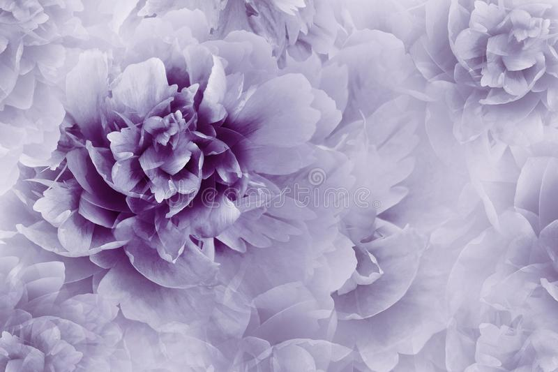 Floral ιώδης ανασκόπηση Κινηματογράφηση σε πρώτο πλάνο λουλουδιών Peonies σε ένα διαφανές ημίτονο ανοικτό μωβ υπόβαθρο χαιρετισμό στοκ εικόνα με δικαίωμα ελεύθερης χρήσης