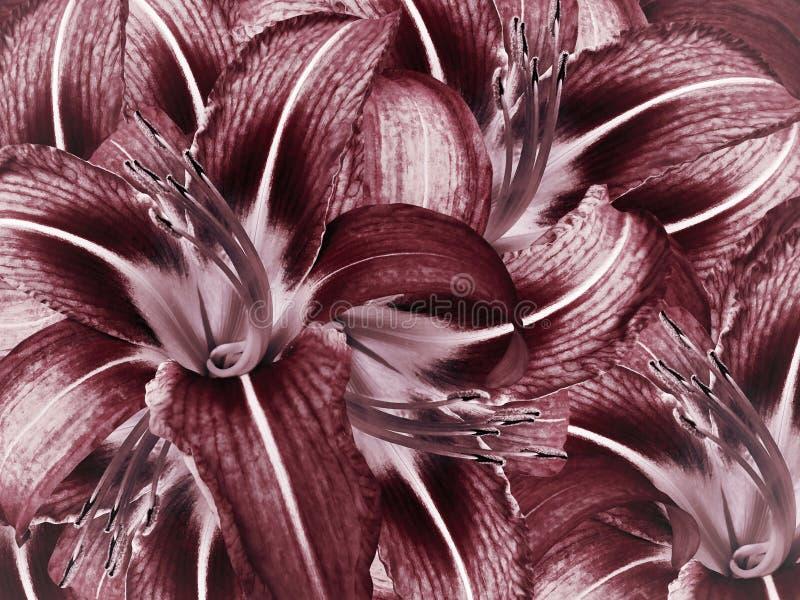 floral κόκκινη ανασκόπηση Ανοικτό μπλε κινηματογράφηση σε πρώτο πλάνο κρίνων λουλουδιών Πέταλα κρίνων στοκ εικόνες