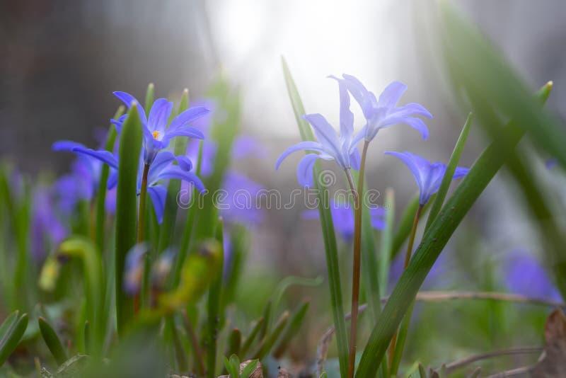Floral τοπίο φύσης άνοιξη με τα άγρια μπλε ιώδη λουλούδια στο λιβάδι ενάντια στο misty λιβάδι πρωινού στοκ φωτογραφία με δικαίωμα ελεύθερης χρήσης