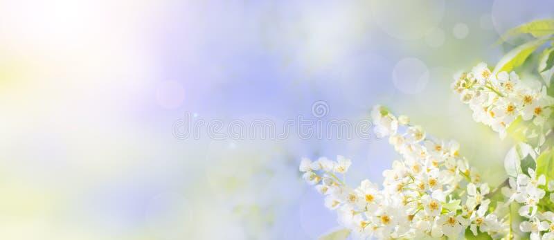 Floral υπόβαθρο άνοιξης ή καλοκαιριού με τα άσπρα άνθη κερασιών πουλιών στοκ εικόνες